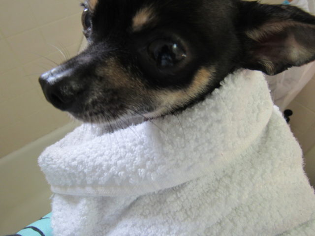 How to Bathe Your Small Breed Dog, Like a Boss