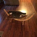 Chelseas New Cat Hammock #PetMagasinCats #cats  #kittens