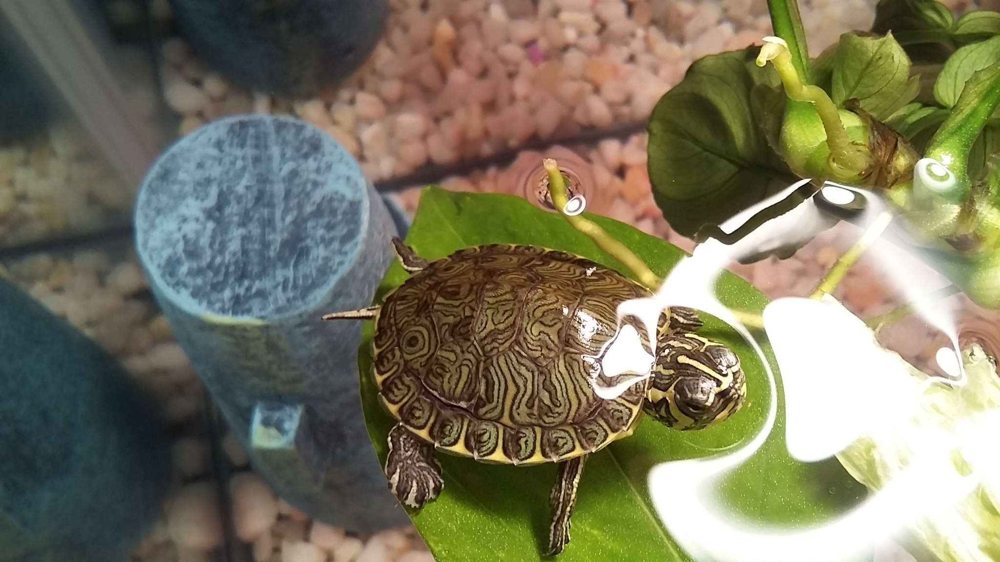 Yellow Belly Slider Turtles, the expense