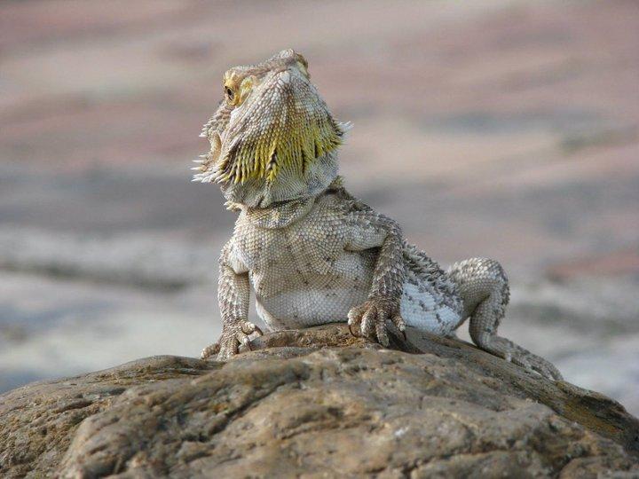 Bearded Dragons Make Great Reptile Beginner Pets