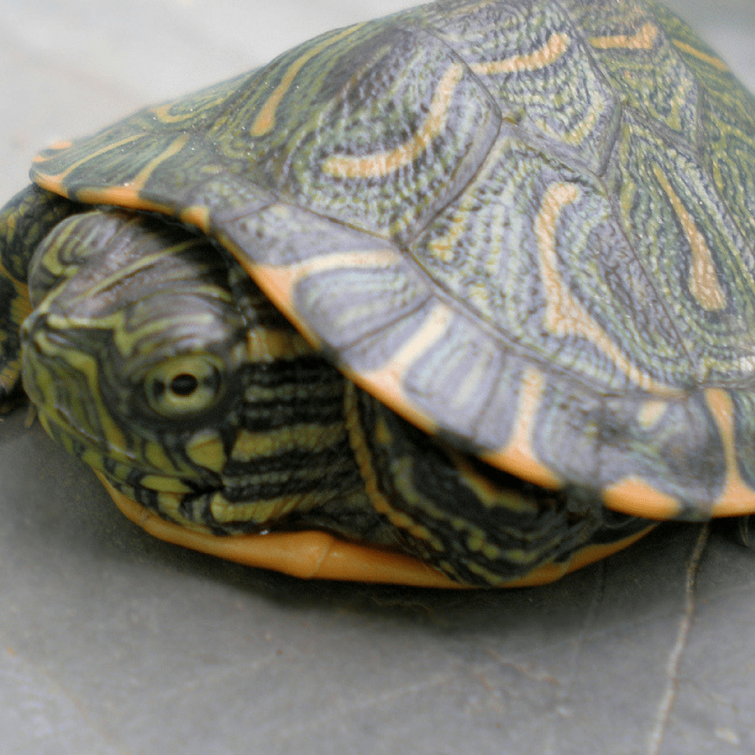 Yellow Belly Slider Turtles, where to buy