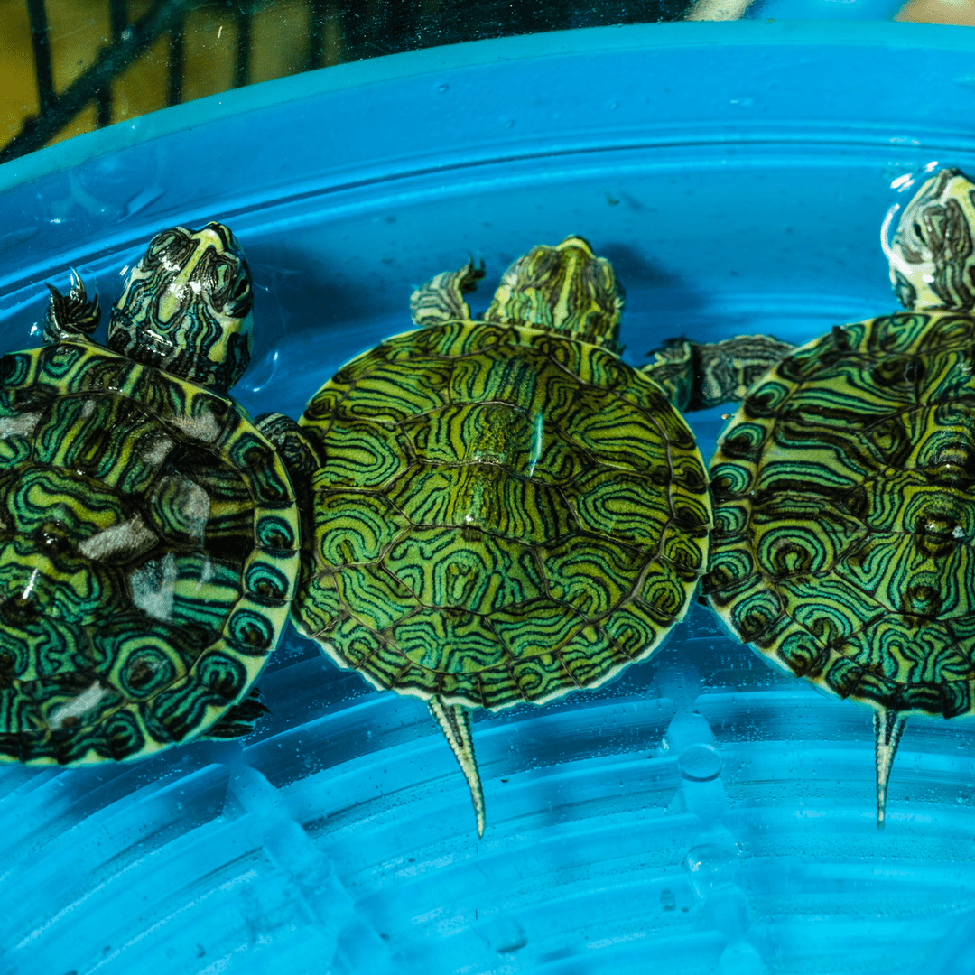 Yellow Belly Slider Turtles, feeding time