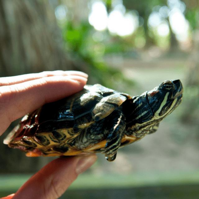 Yellow Belly Slider Turtles, feeding time