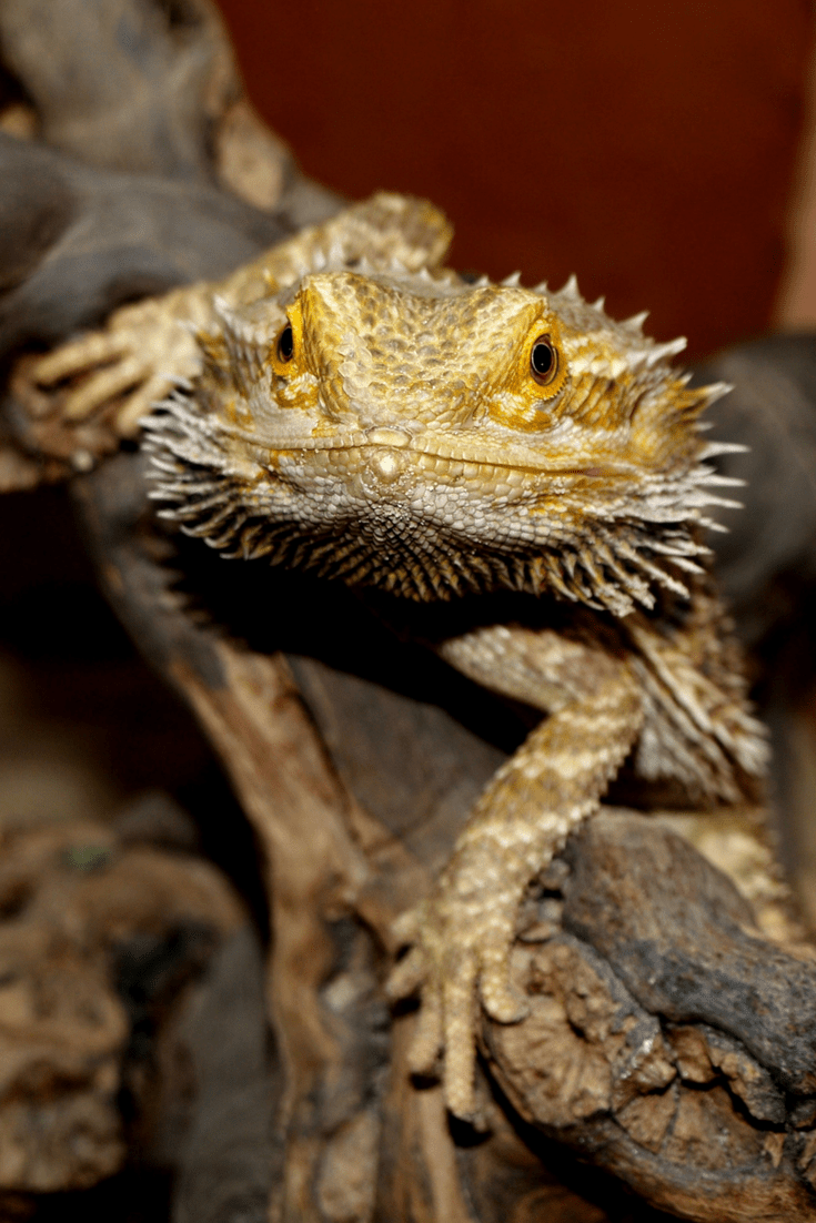 Bearded Dragons Make Great Reptile Beginner Pets