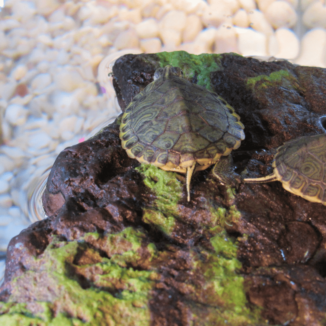 Yellow Belly Slider Turtles, the lifespan