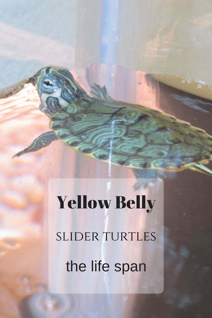 Yellow Belly Slider Turtles, the life span