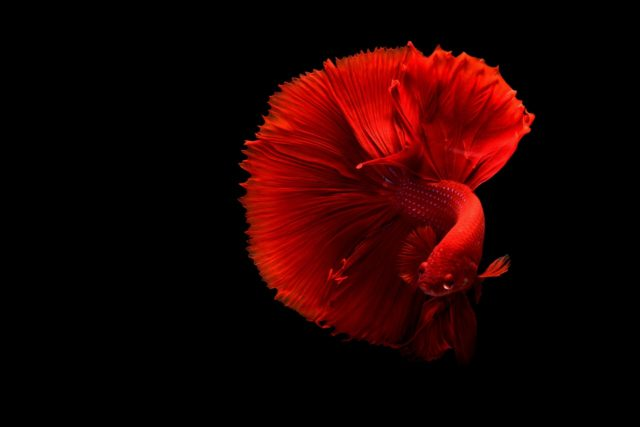Forget everything you've ever heard about Beta fish