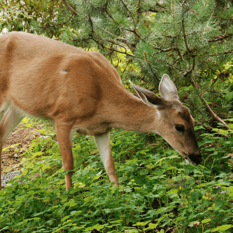 Deer Oh Deer: Protecting Your Garden From Deer Damage