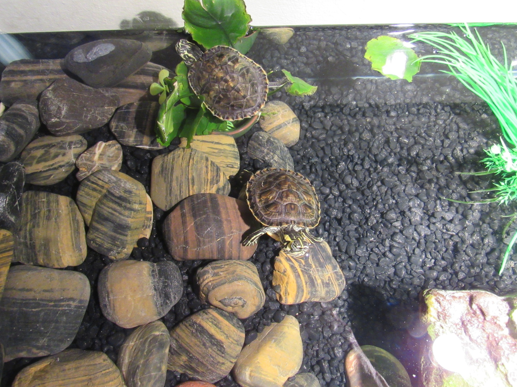 I'm Not Taking My Yellow Belly Slider Turtles