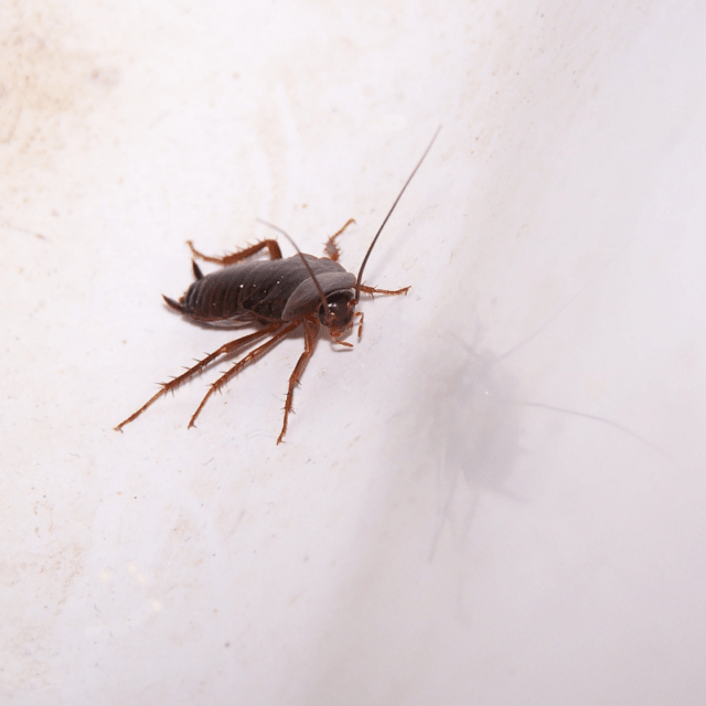 Homeowner Tips for Getting Rid of Roaches