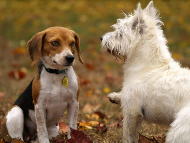 Extending The Family: Bringing A Second Dog Home