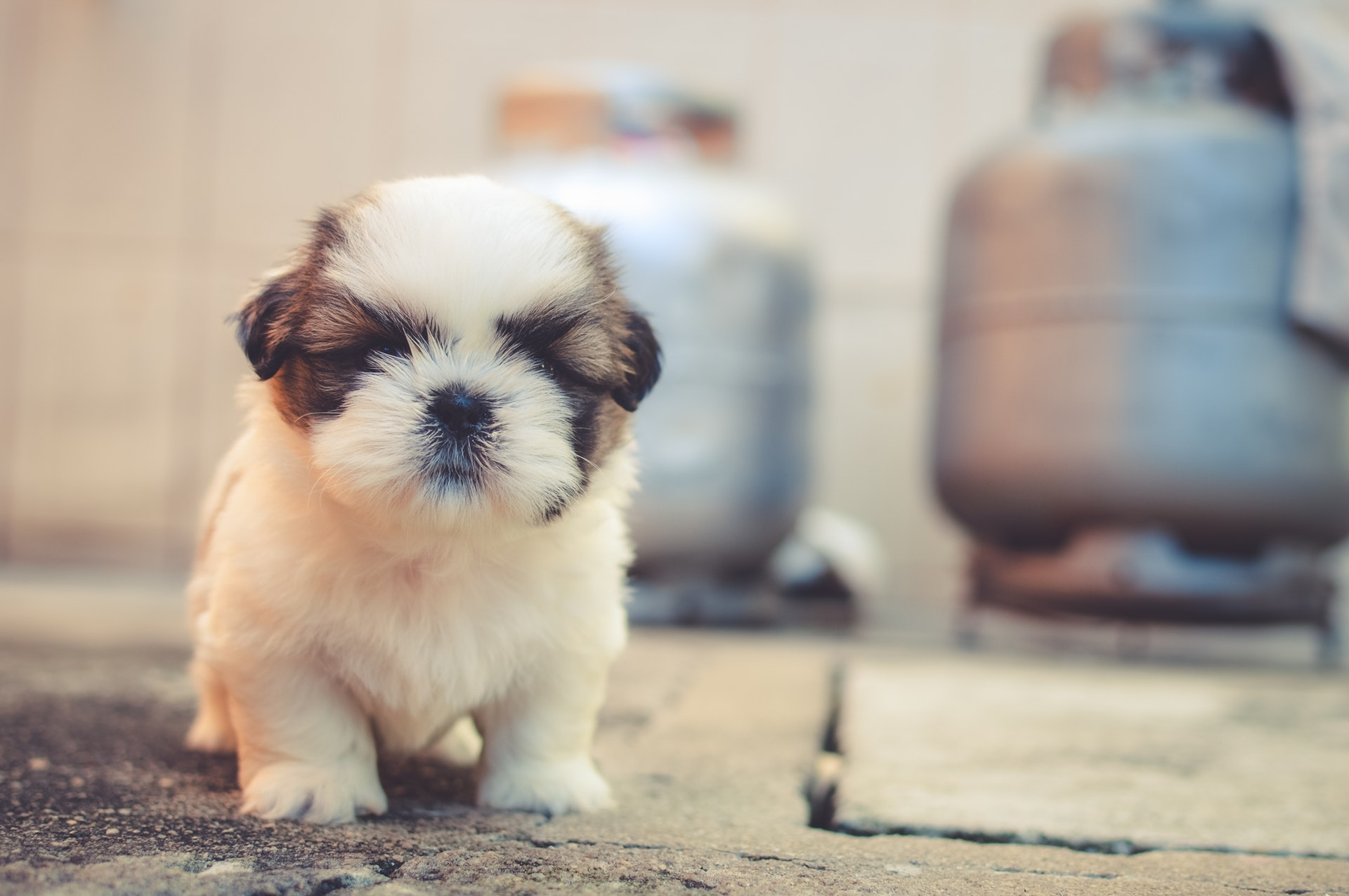 Everything You Need to Know About Getting a Puppy!