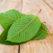 The Top 4 Astounding Health Benefits of Kratom Leaves