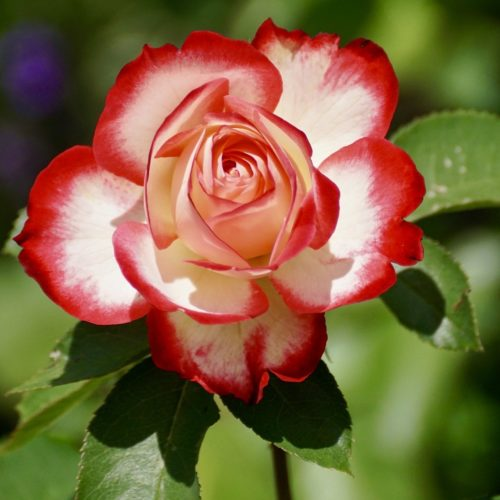 The Colour Of Roses: What Do They Mean?