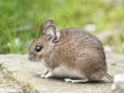 Four Tips for Keeping Rodents Out of Your Home