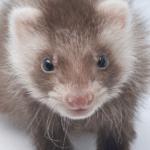 Maintaining an Angora Ferret as A Pet.