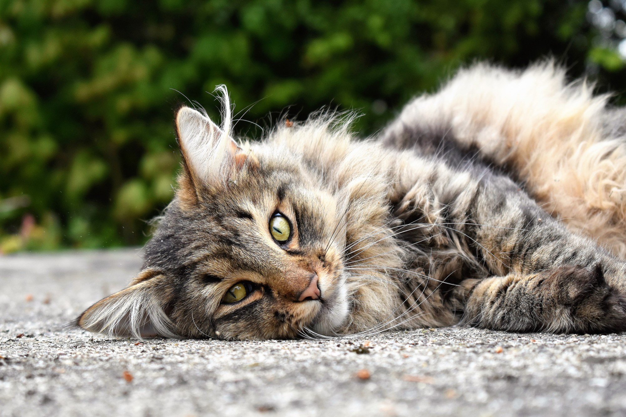How to Groom a Long-Haired Cat: 6 Helpful Tips