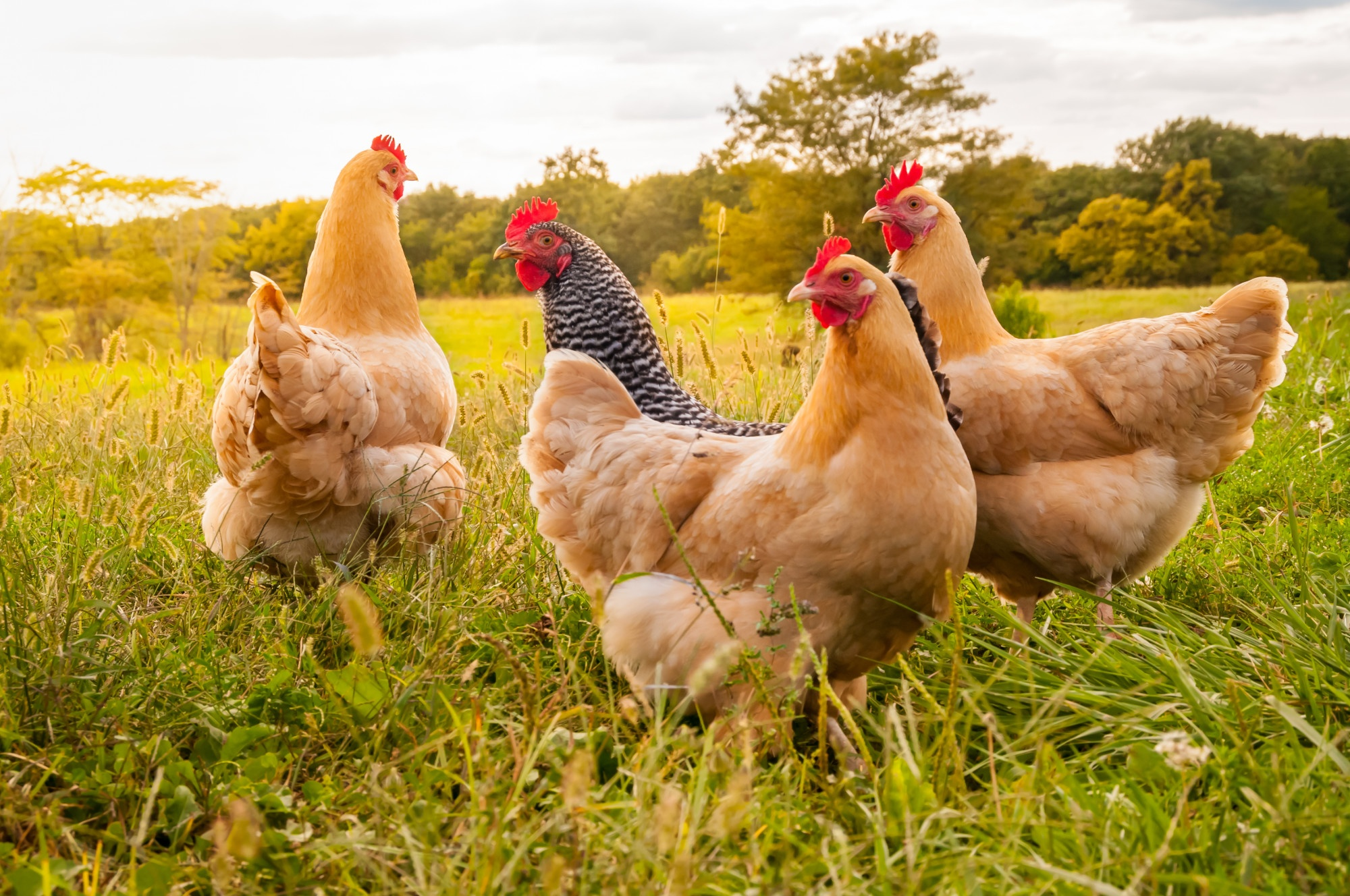 From Farm-to-Table: 5 Benefits of Raising and Keeping Backyard Chickens