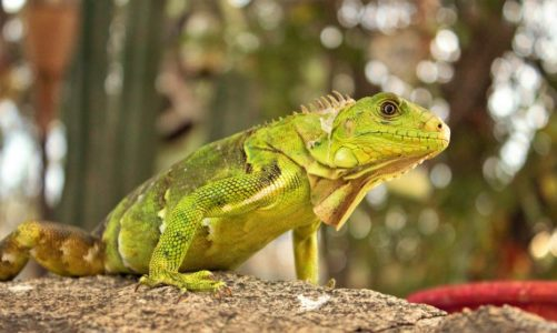 Iguana Repellent: What Is Iguana Tree Wrap and Why Do I Need It?