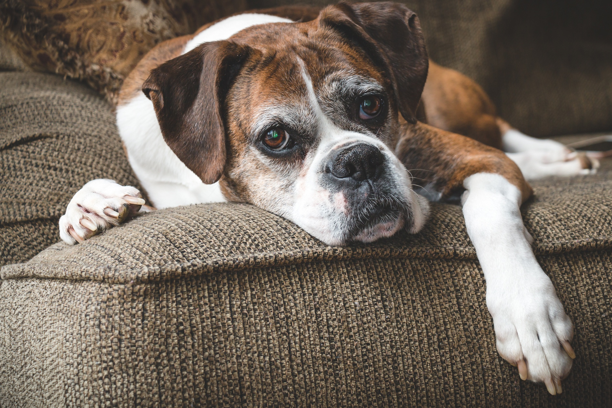 Vestibular Disease: A Complete Guide to Helping Your Older Dog Adjust