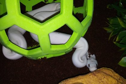 Raising Ball Pythons